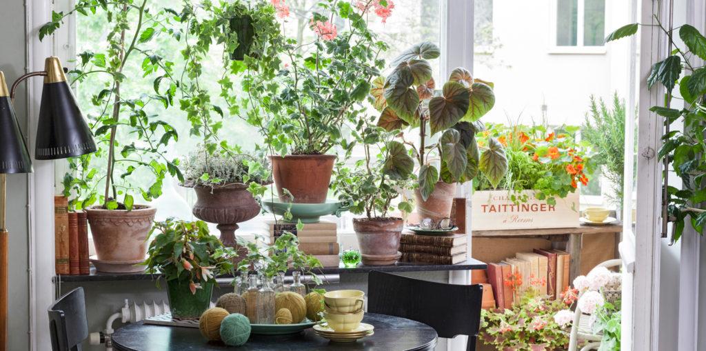 fonster.miljo.pelargon.tomat.balkong.fotoAnnaSkoog