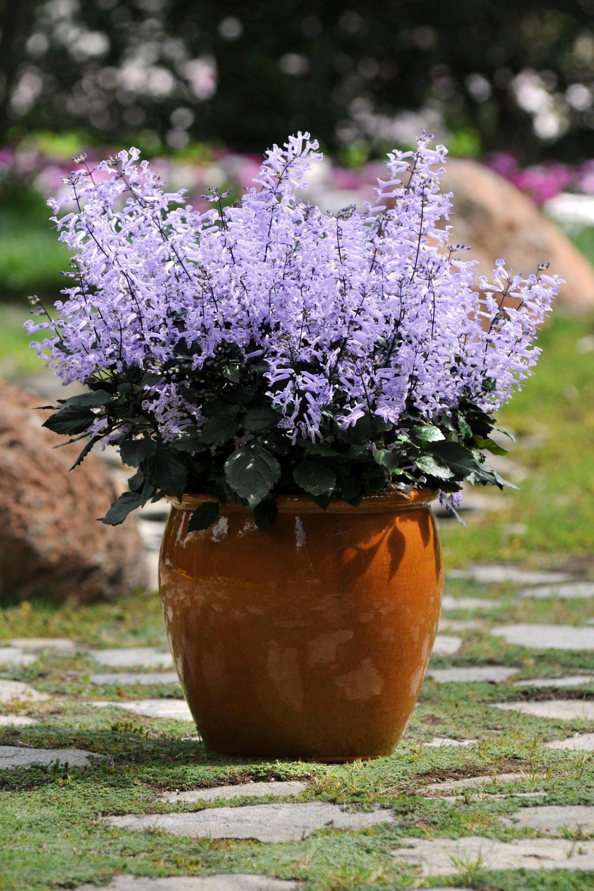 Septemberljus, 'Mona Lavender', nyhet