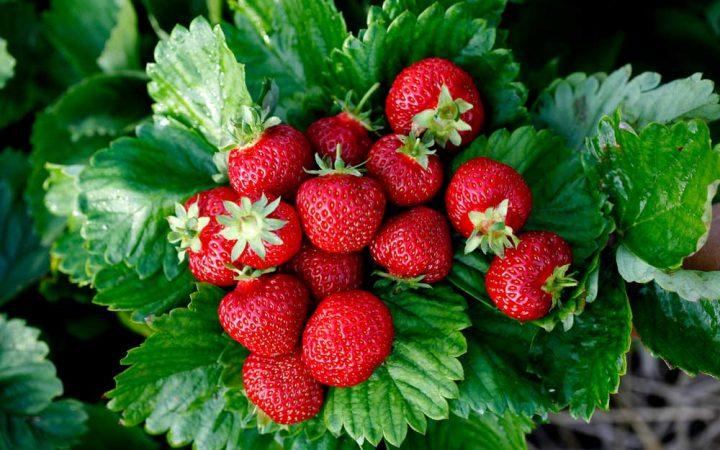 När är bästa tiden att plantera jordgubbar?