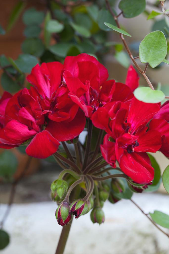 Pelargon, Velvet Red